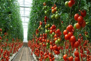 How Much Spacing Should There Be Between Tomato Plants
