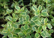 What are the White Spots on Thyme Leaves