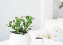 2 Easy Ways to Root a Jade Plant
