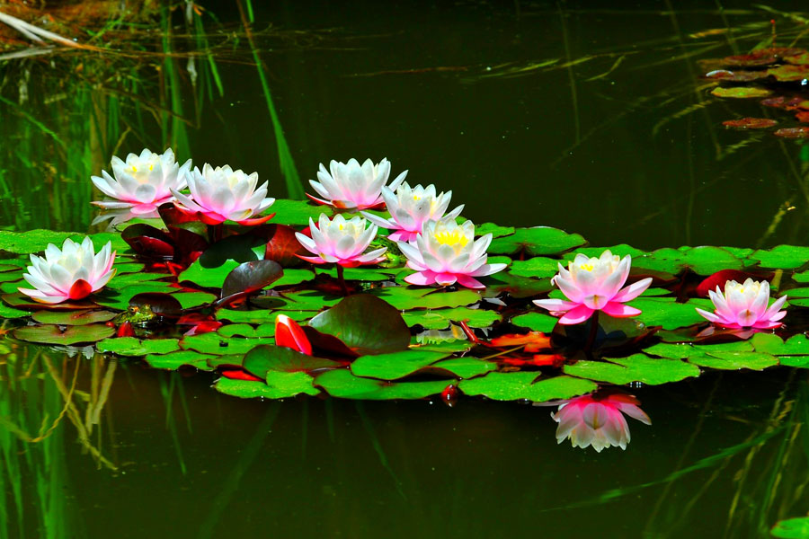 3 Best Water Plants for a Garden Pond