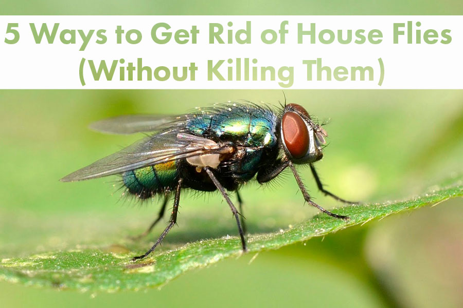 5 Ways to Get Rid of House Flies (Without Killing Them)